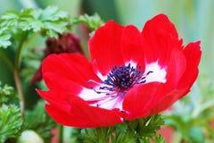 Κόκκινο κόκκινο λευκό λουλουδιών coronaria Anemone Στοκ εικόνα με δικαίωμα ελεύθερης χρήσης