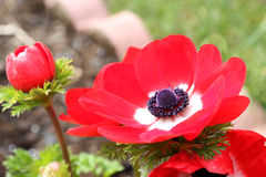 Κόκκινο κόκκινο λευκό λουλουδιών coronaria Anemone Στοκ Φωτογραφία