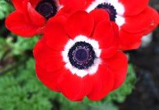 Κόκκινο κόκκινο λευκό λουλουδιών coronaria Anemone Στοκ Εικόνα