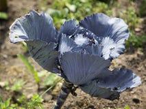 Κόκκινο λάχανο που ωριμάζει στον κήπο Στοκ Εικόνες
