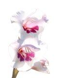κόκκινο λευκό δύο gladiolus λο&upsilon Στοκ εικόνες με δικαίωμα ελεύθερης χρήσης