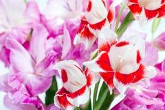 κόκκινο λευκό λουλουδιών Στοκ φωτογραφίες με δικαίωμα ελεύθερης χρήσης