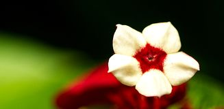 κόκκινο λευκό λουλουδιών Στοκ εικόνες με δικαίωμα ελεύθερης χρήσης