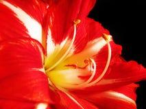 κόκκινο λευκό amaryllis Στοκ Φωτογραφία