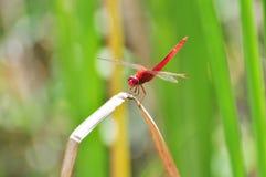 κόκκινο λιβελλουλών στοκ φωτογραφία