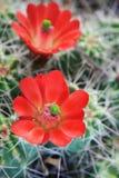 κόκκινο λουλουδιών κάκ&t Στοκ φωτογραφία με δικαίωμα ελεύθερης χρήσης