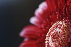 κόκκινο λουλουδιών κινηματογραφήσεων σε πρώτο πλάνο Στοκ φωτογραφίες με δικαίωμα ελεύθερης χρήσης