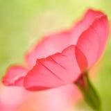 κόκκινο λουλουδιών κιν Στοκ εικόνες με δικαίωμα ελεύθερης χρήσης
