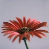 κόκκινο λουλουδιών μαργαριτών στοκ φωτογραφίες