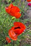 κόκκινο λουλουδιών παπαρουνών Στοκ Εικόνες