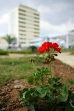 κόκκινο λουλουδιών πόλεων Στοκ Εικόνες