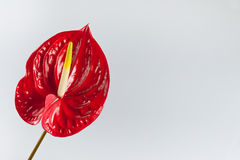 κόκκινο λουλουδιών φλ&alp Στοκ φωτογραφία με δικαίωμα ελεύθερης χρήσης