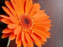 κόκκινο λουλουδιών Στοκ εικόνες με δικαίωμα ελεύθερης χρήσης