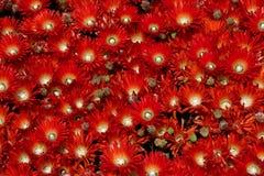 κόκκινο λουλουδιών Στοκ φωτογραφίες με δικαίωμα ελεύθερης χρήσης