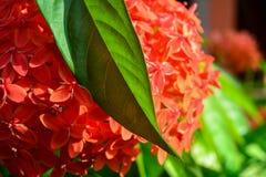 Κόκκινο λουλούδι ακίδων με το φύλλο του στοκ εικόνες