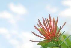 Κόκκινο λουλούδι ακίδων Στοκ φωτογραφίες με δικαίωμα ελεύθερης χρήσης