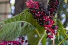 Κόκκινο λουλούδι κήπων Άνθος το πρώιμο φθινόπωρο χορτάρια Στοκ Φωτογραφία
