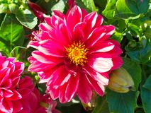 κόκκινο λουλούδι κόσμου στοκ φωτογραφίες