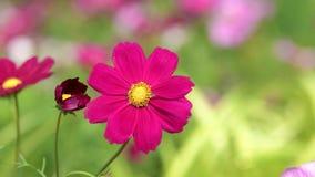 Κόκκινο λουλούδι κόσμου στον τομέα κόσμου απόθεμα βίντεο