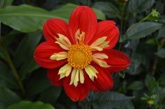 Κόκκινο λουλούδι με το κίτρινο εσωτερικό Στοκ φωτογραφία με δικαίωμα ελεύθερης χρήσης