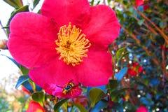 Κόκκινο λουλούδι με το κίτρινο κέντρο και ένα ρουφώντας γουλιά γουλιά νερό μελισσών στοκ εικόνες με δικαίωμα ελεύθερης χρήσης
