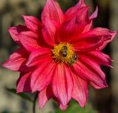 Κόκκινο λουλούδι νταλιών με την κινηματογράφηση σε πρώτο πλάνο μελισσών Στοκ Φωτογραφία