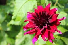 Κόκκινο λουλούδι νταλιών Πρόεδρος Άγιος-Gilles στοκ φωτογραφίες