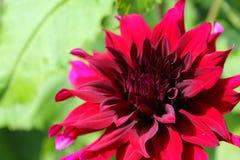 Κόκκινο λουλούδι νταλιών Πρόεδρος Άγιος-Gilles στοκ εικόνα