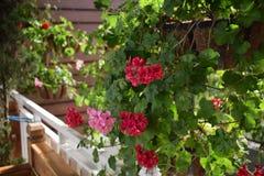 Κόκκινο λουλούδι ομορφιάς στο δοχείο στο σπίτι Στοκ φωτογραφία με δικαίωμα ελεύθερης χρήσης