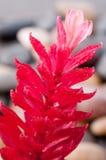 Κόκκινο λουλούδι πιπεροριζών με την κινηματογράφηση σε πρώτο πλάνο πετρών ποταμών Στοκ εικόνες με δικαίωμα ελεύθερης χρήσης