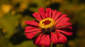 Κόκκινο λουλούδι που ανθίζει κάτω από το φωτεινό σηματοδότη στοκ εικόνα