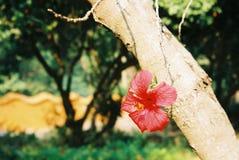 Κόκκινο λουλούδι που τεντώνεται κάτω Στοκ Εικόνα