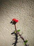 Κόκκινο λουλούδι σπονδυλικών στηλών στοκ εικόνες με δικαίωμα ελεύθερης χρήσης