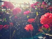 Κόκκινο λουλούδι στη φύση Στοκ Εικόνες