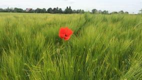 Κόκκινο λουλούδι στον πράσινο τομέα και δάσος στο υπόβαθρο στοκ φωτογραφίες