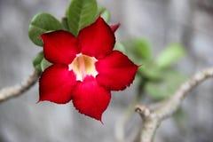 Κόκκινο λουλούδι στο γκρίζο υπόβαθρο τοίχων στοκ φωτογραφία με δικαίωμα ελεύθερης χρήσης