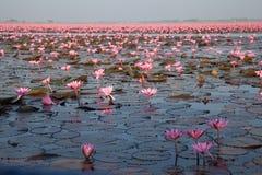 Κόκκινο λουλούδι Ταϊλάνδη λιμνών λωτού Στοκ φωτογραφία με δικαίωμα ελεύθερης χρήσης