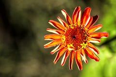 Κόκκινο λουλούδι της Zinnia στον κήπο στοκ φωτογραφία