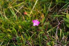 Κόκκινο λουλούδι τομέων Άγριο λουλούδι στα βουνά Λουλούδι Chervona Ruta Στοκ Φωτογραφίες