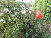 Κόκκινο λουλούδι του νάνου ροδιού στοκ φωτογραφία με δικαίωμα ελεύθερης χρήσης