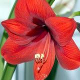 Κόκκινο λουλούδι του hippeastrum που ανθίζει στο εσωτερικό Στοκ εικόνα με δικαίωμα ελεύθερης χρήσης