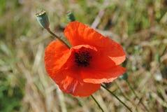 Κόκκινο λουλούδι των παπαρουνών στοκ φωτογραφία με δικαίωμα ελεύθερης χρήσης