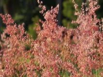 Κόκκινο λουλούδι χλόης που φυσά στον αέρα απόθεμα βίντεο