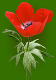 Κόκκινο λουλούδι anemone με τις απελευθερώσεις δροσιάς ελεύθερη απεικόνιση δικαιώματος