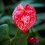 Κόκκινο λουλούδι - Anthurium στο βοτανικό κήπο Στοκ φωτογραφία με δικαίωμα ελεύθερης χρήσης