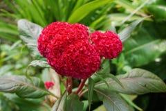 Κόκκινο λουλούδι argentea celosia στον κήπο φύσης Στοκ εικόνα με δικαίωμα ελεύθερης χρήσης
