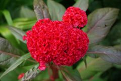 Κόκκινο λουλούδι argentea celosia Στοκ φωτογραφία με δικαίωμα ελεύθερης χρήσης