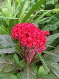 Κόκκινο λουλούδι argentea celosia Στοκ εικόνες με δικαίωμα ελεύθερης χρήσης