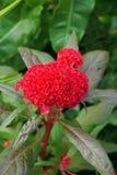 Κόκκινο λουλούδι argentea celosia Στοκ Εικόνες