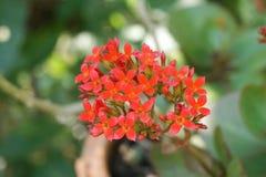 Κόκκινο λουλούδι blossfeldiana πετάλων kalanchoe στον κήπο φύσης Στοκ Εικόνα
